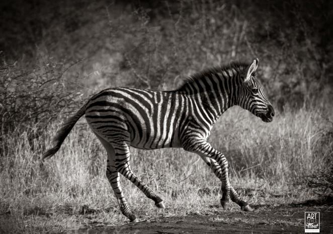 Zebra_safari_africa_birding_wildlife_artstyleflow_ronbwilson_madikwe_travel_photography